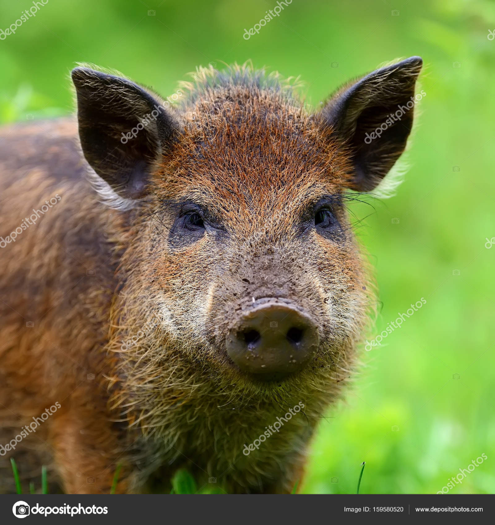 Download Wild boar in forest — Stock Image Wild boar