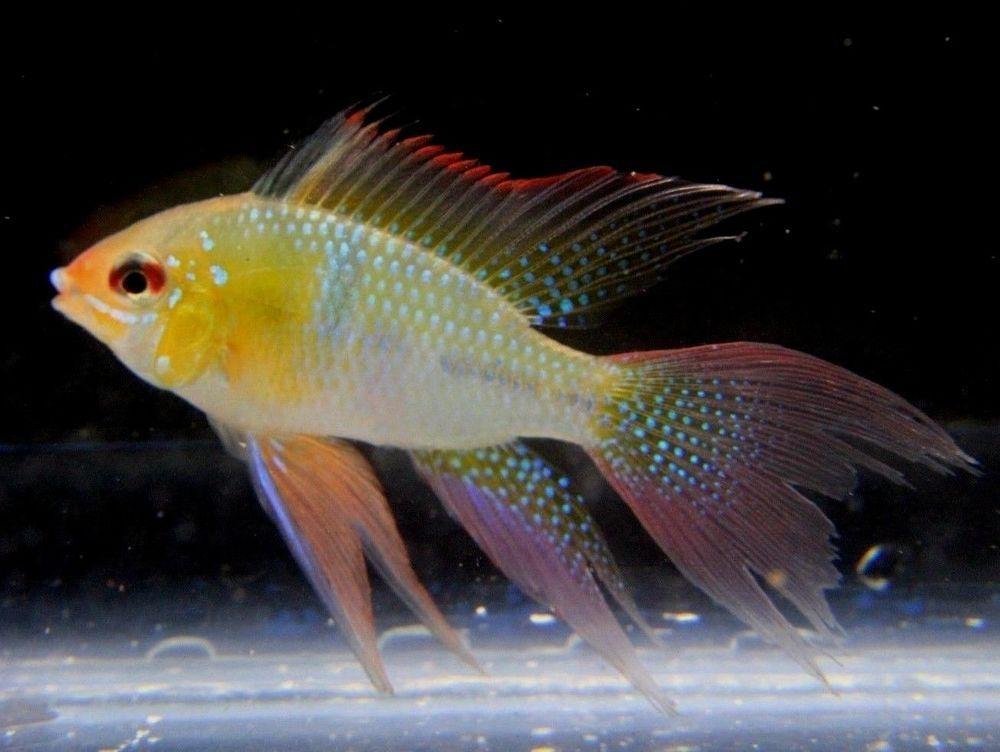Lg Long Fin German Blue Rams Mikrogeophagus Ramirezi Dwarf Butterfly Cichlid Tropical Fish Aquarium Cichlids Aquarium Fish