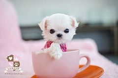 Maltese Teacup Cute Baby Animals Teacup Puppies Puppies