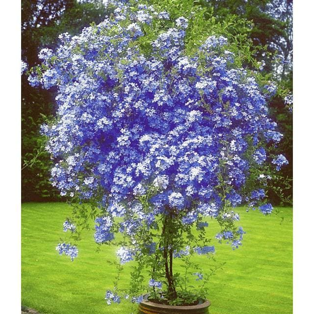 Stammchen Plumbago 1 Pflanze Baldur Garten Gmbh Plumbago Idees Jardin Idees De Jardin Fleur