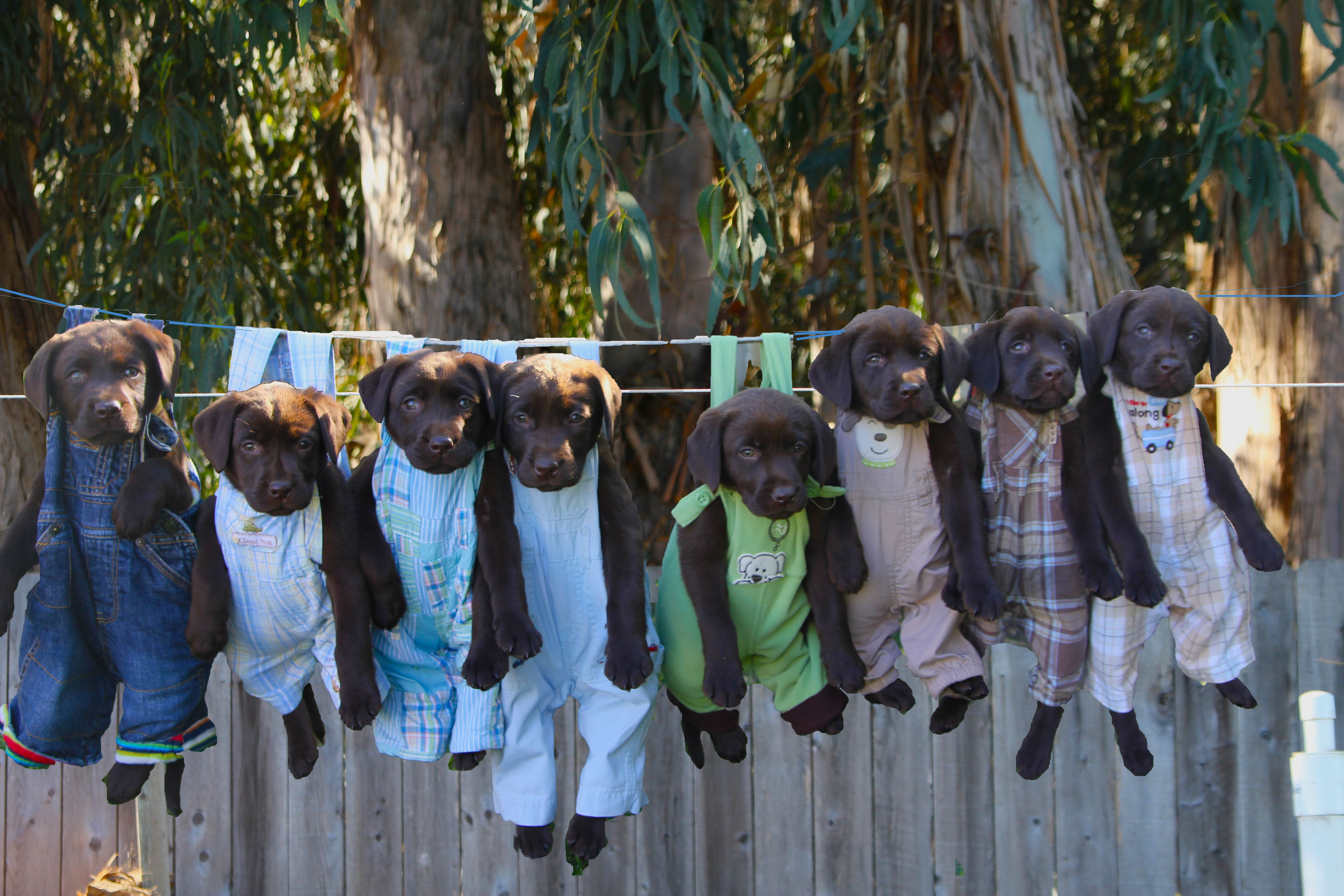 Chocolate lab puppies hanging out on the clothesline