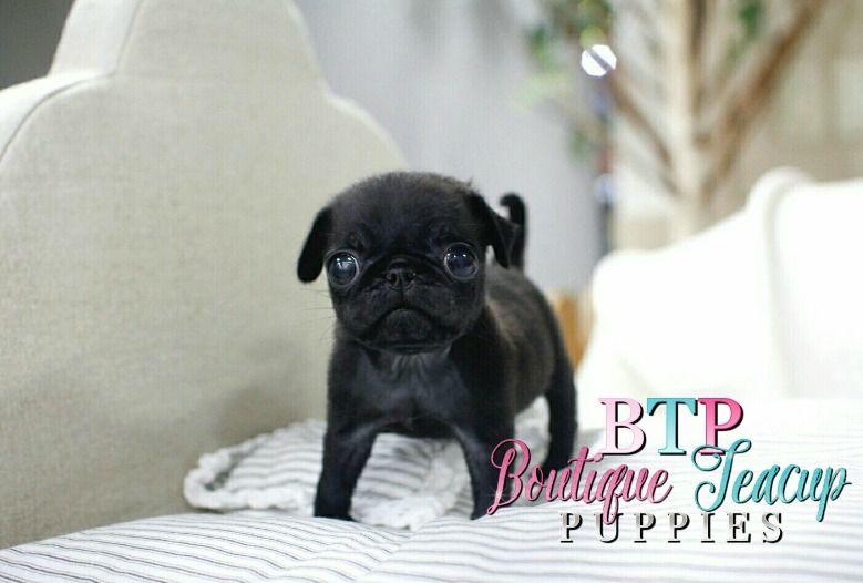 Lil Penelope 3 Superior Thick Coat Micro Cream Pomeranian