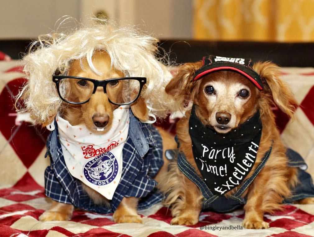 Wayne's World Costume Dog Dachshund Dog insurance, Dogs