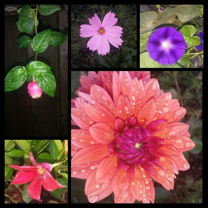 Backyard flowers. Zinnias, fuchsia, mornimg glory, cosmo