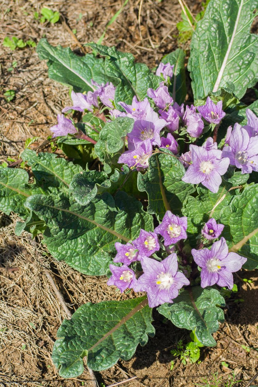 Is Mandrake Poisonous Can You Eat Mandrake Root Plants Mandrake Mandrake Root