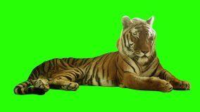 Green Screen Tiger Youtube Green Screen Video