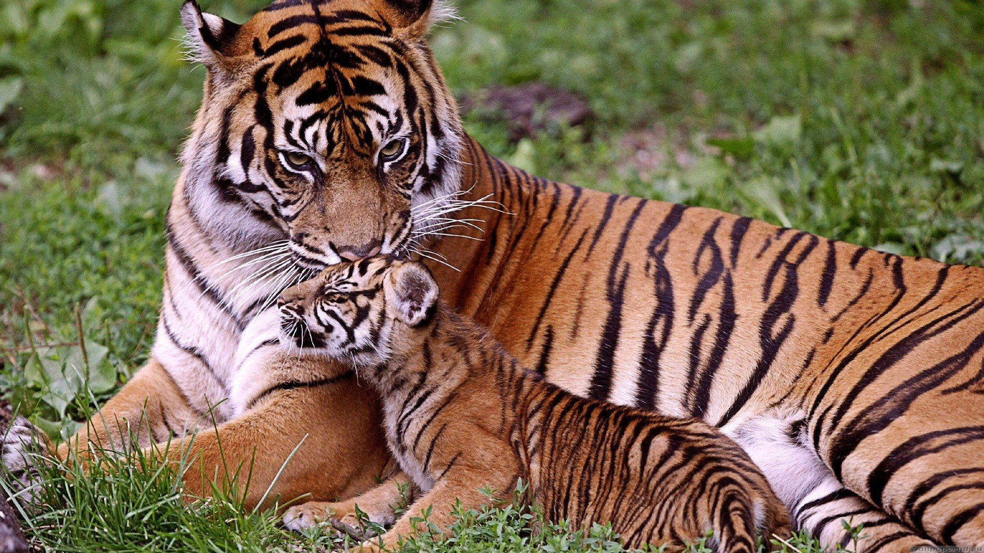 tiger cubs and mother | description: free download tiger mom and her