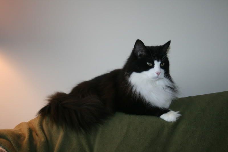 Tuxedo Cat Facts And Personality Tuxedo Cat Breed Cute Baby Animals Tuxedo Cat Facts Cat Breeds