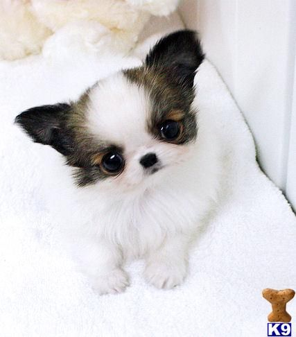 Chihuahua Puppies for Free Baby Puppies Free on