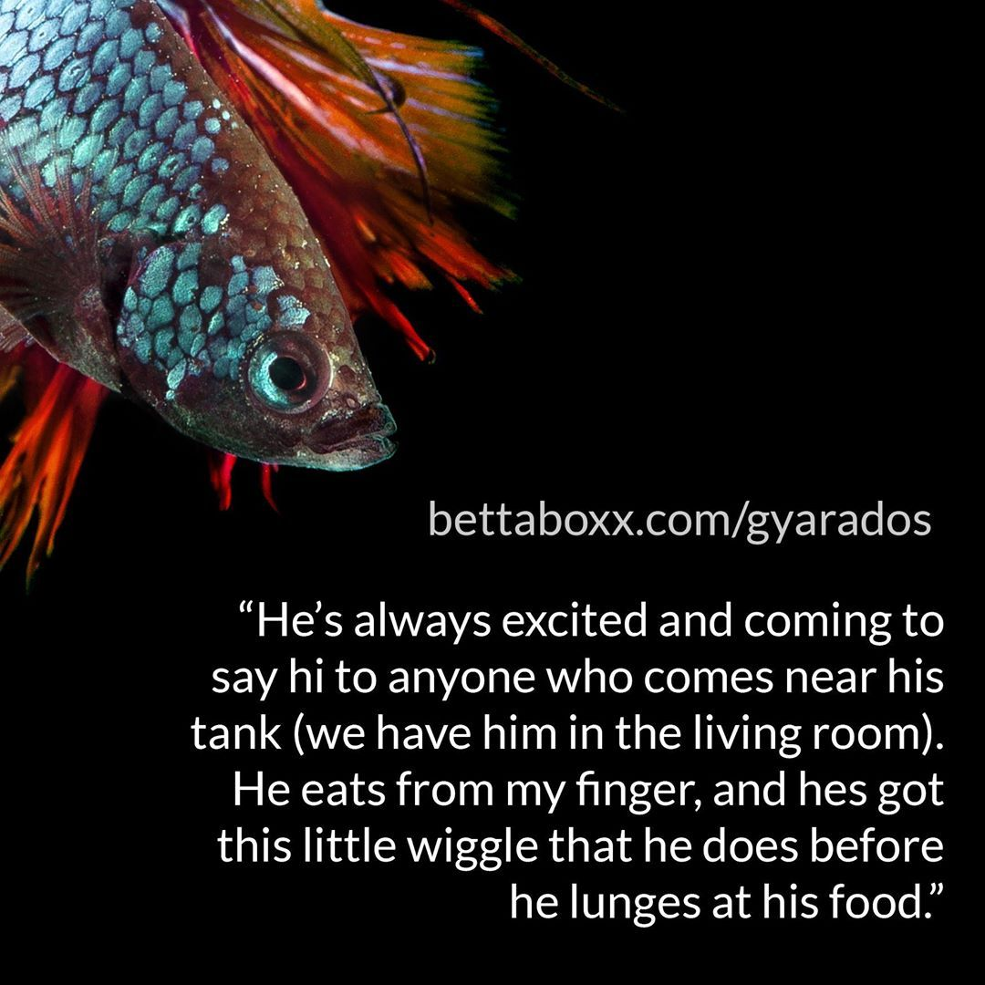 A nice quote from one of the betta profiles submitted to our site. This quotes…