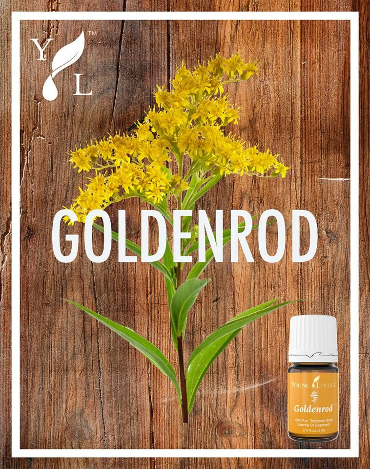 February is American Heart Month—show your heart some love with Goldenrod essential oil! Traditionally used to support a healthy heart,* Goldenrod essential oil is steam distilled from the bright yellow flowering tops of the Solidago canadensis plant. Add a few drops to a clear vegetable capsule to get all the benefits.  #YLproductTips #youngliving #essentialoils #yleo