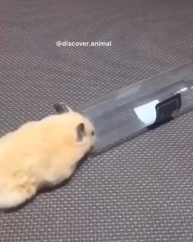 Photo of Rolly Polly hamster