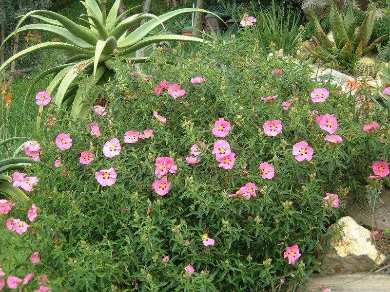cistus x purpureus Species C. × purpureus C