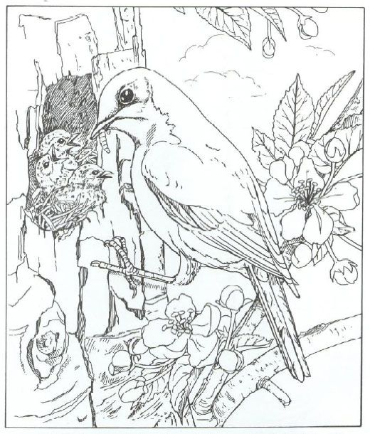 B003f6adcbb932d1 Animal Coloring Pages Bluebird Jpg 520 610 Coloring Pages Nature Bird Coloring Pages Animal Coloring Pages