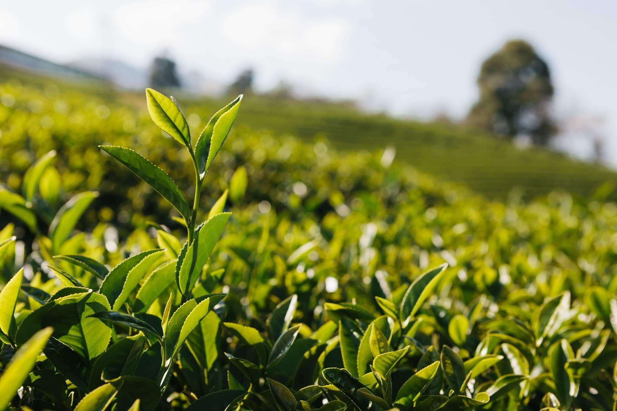 Benefits of the popular healthy Green Tea Dragon well