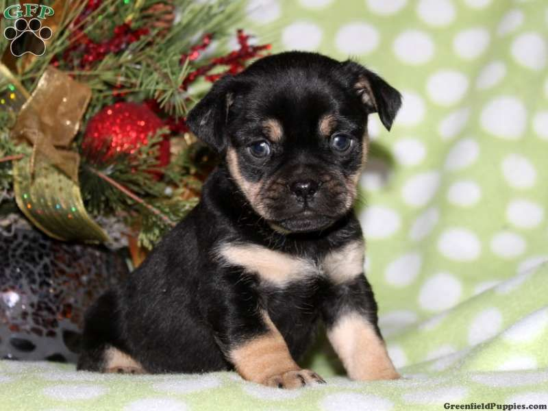 Bella Miniature Rottweiler Puppy For Sale From Kinzers Pa