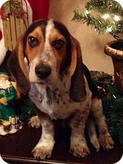 Oswego Il Basset Hound Meet Harper A Puppy For Adoption Dogs