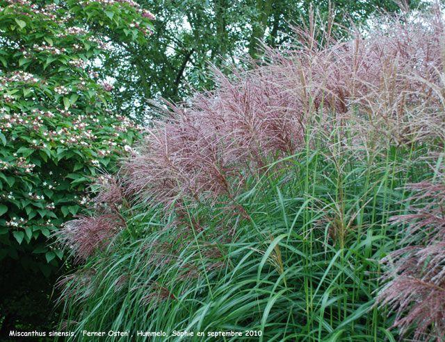 miscanthus sinensis ferner osten uk - Google Search | garden ideas ...
