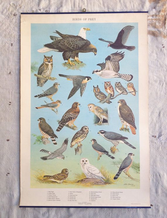 Vintage 1960s Pennsylvania Game Commission Poster Birds Of Prey