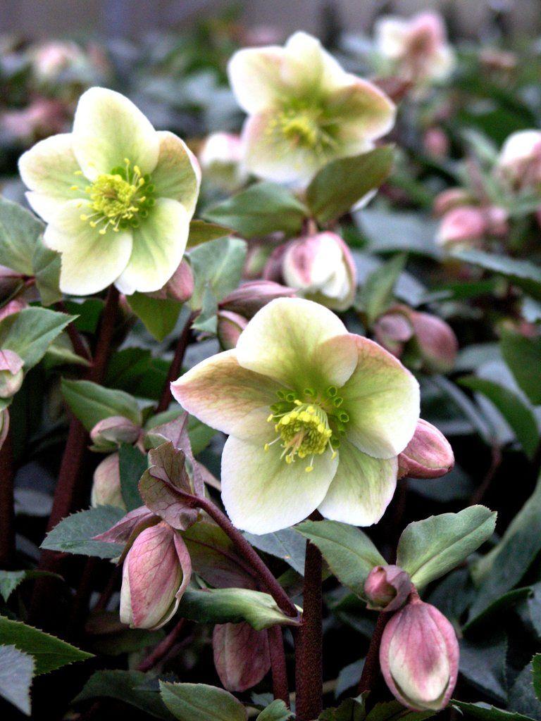 Hellébore Rose de Noël ( Helleborus niger )   Fleur hiver ...