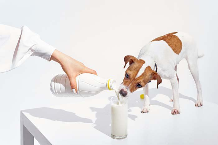 Can Dogs Drink Milk Sometimes Depending On The Specific Dog Yes They Can However Most Times The Answer Is Probably No Th Drink Milk Best Puppies Dogs