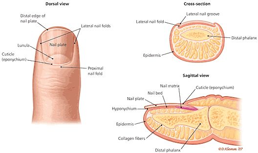 Fingernails Have An Eponychium Hyponychium Lunula Nail Matrix
