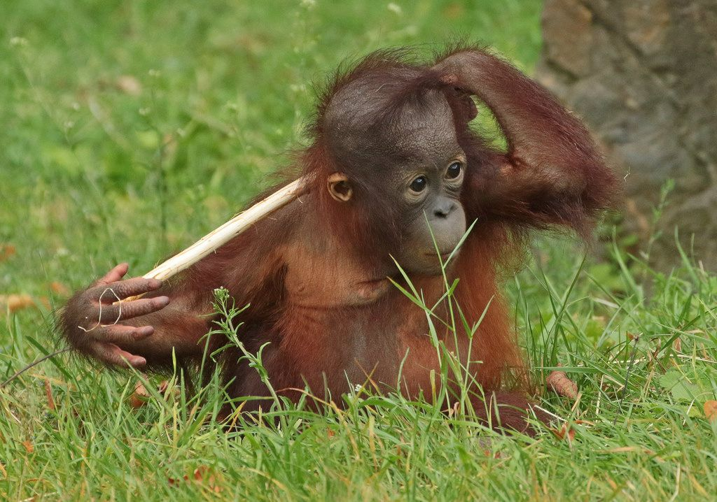 Sumatran Orangutan Sabbar Ouwehands Bb2a2740 Orangutan Baby Animals Sumatran Orangutan