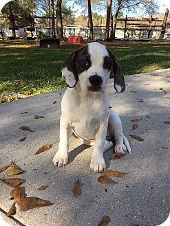 Beagle Boxer Mix Puppy For Adoption In Baton Rouge Louisiana