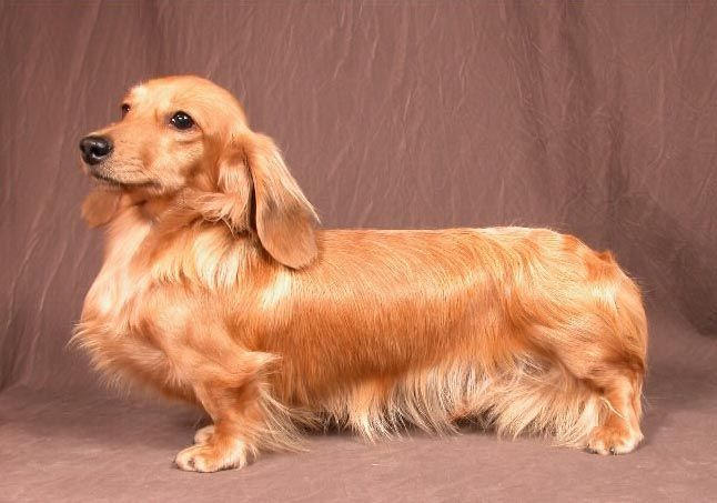Miniature Long Haired Dachshund Gorgeous Long Haired Dachshund