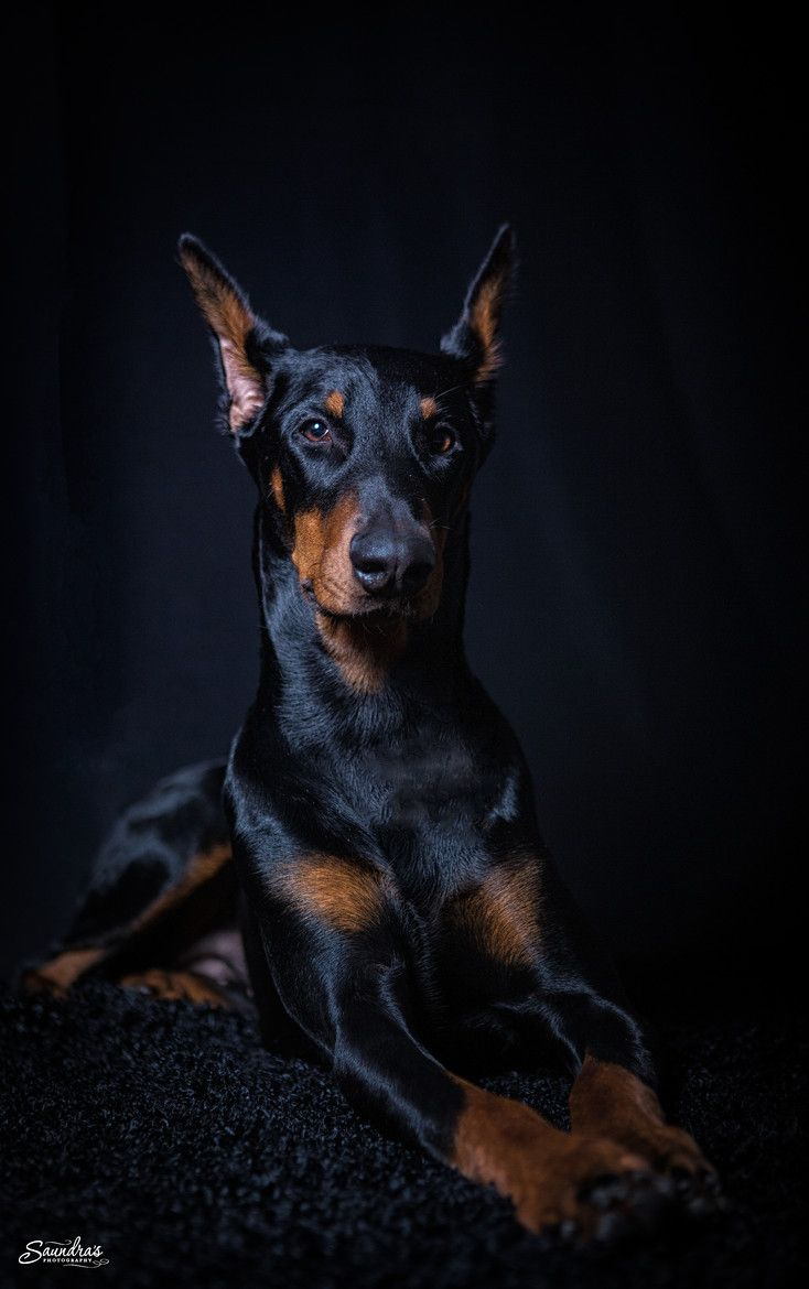 Doberman Pinscher Doberman Pinscher Dog Doberman