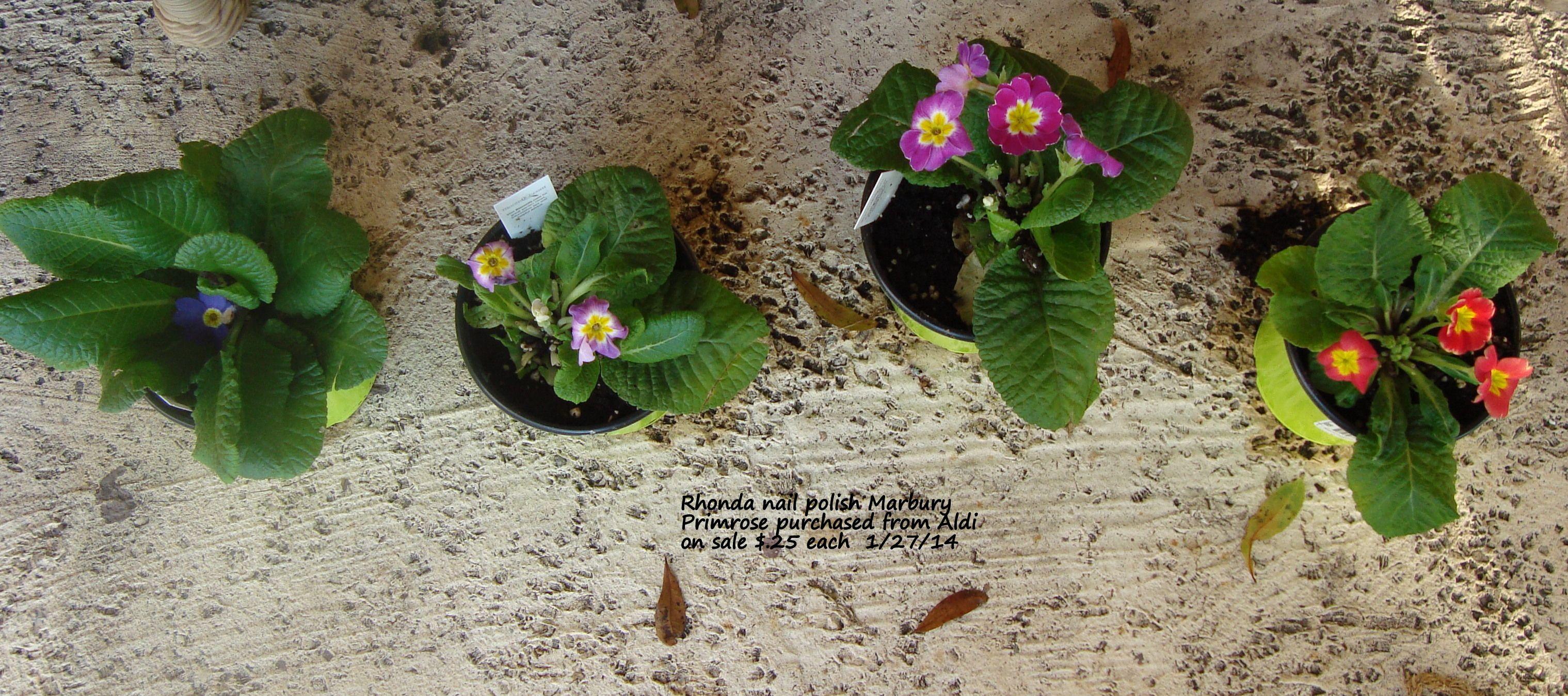 Primrose From Aldi 1 27 14 25 Each Plant Care Plants 400 x 300