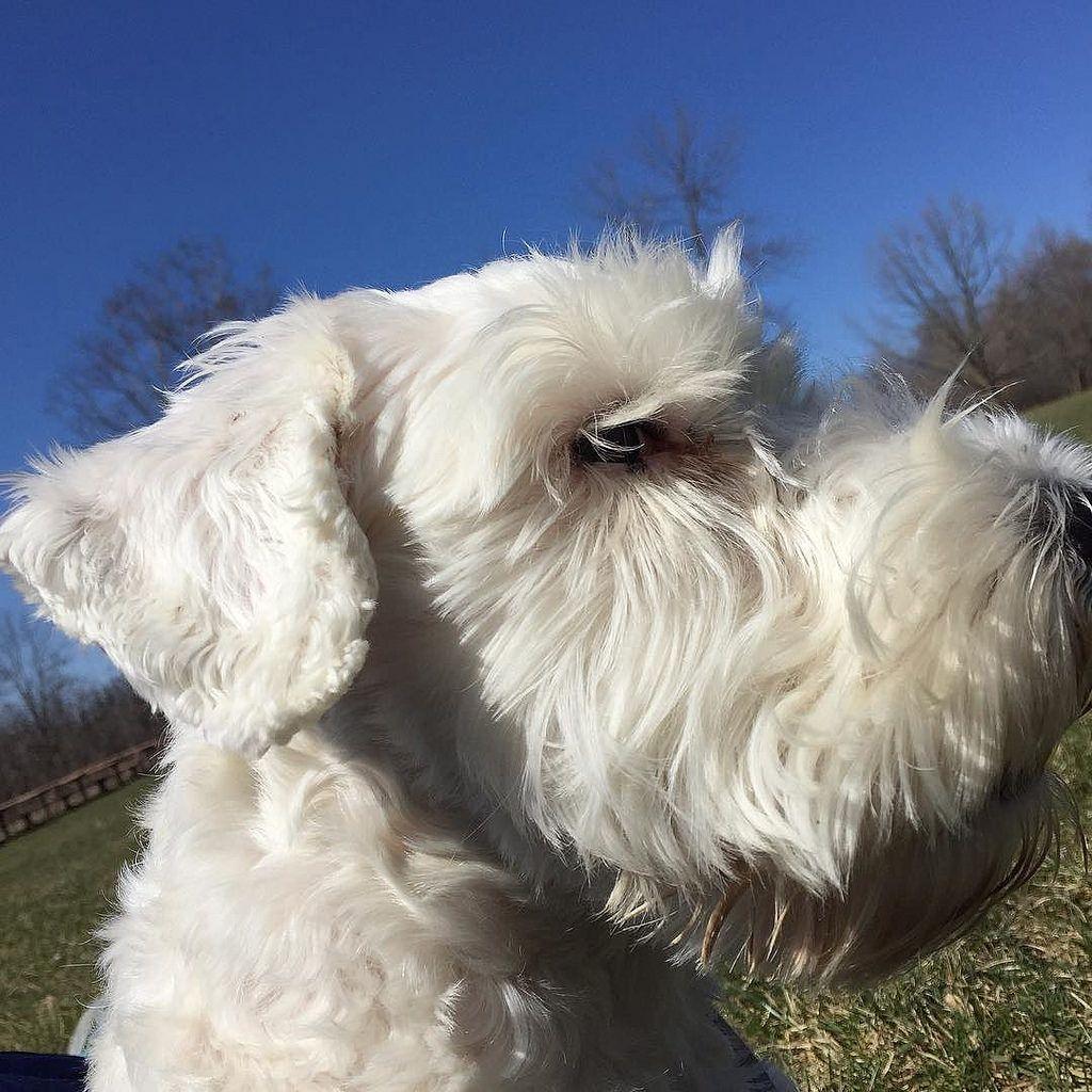 Enjoying the wonderful Spring weather! #handsomedog #sealyham #sealyhamterrier #ilovemydog