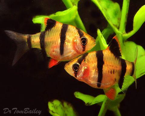 Pin By Andrea Granovic On Fish Aquarium Fish Tropical Fish Tetra Fish