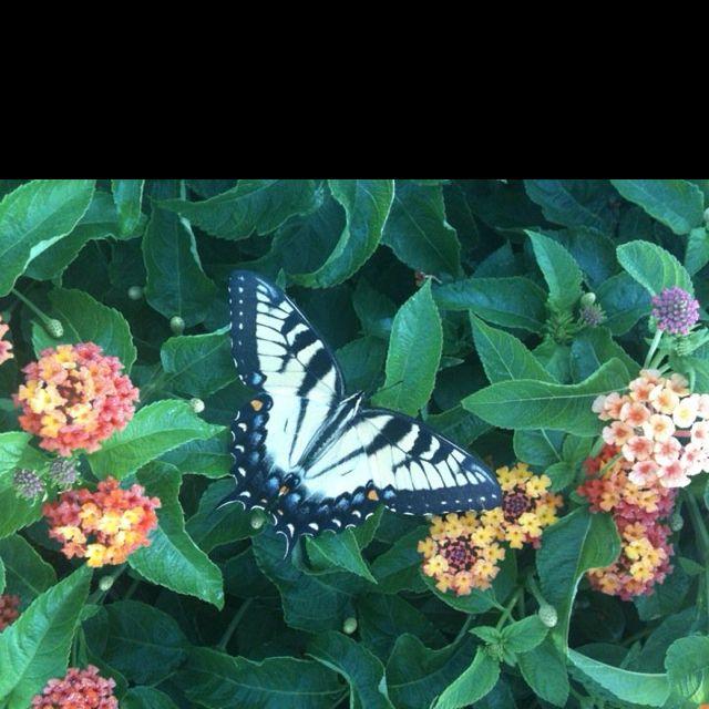 Beautiful butterfly resting on lantana in my garden.