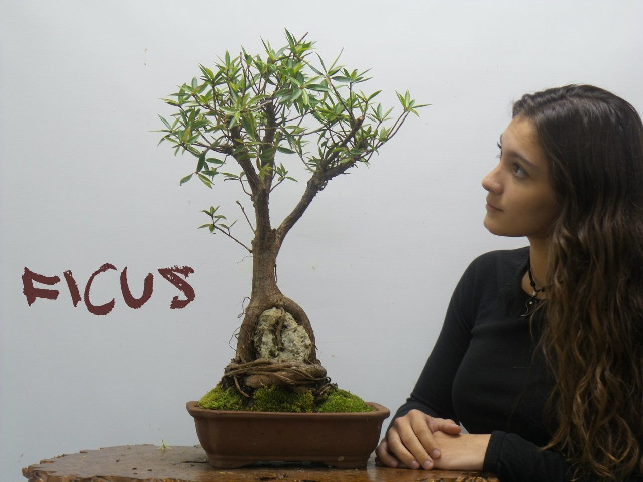 Ficus Nerifolia 33930 Ficus Bonsai Tree Bonsai Tree Care