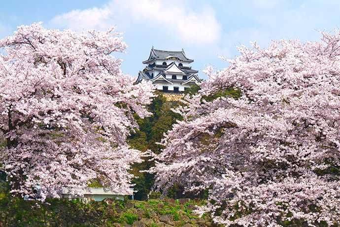 Japanese Cherry Blossoms In America A Brief History Rake And Shovel Cherry Blossom Japanese Cherry Blossom Pretty Flowers