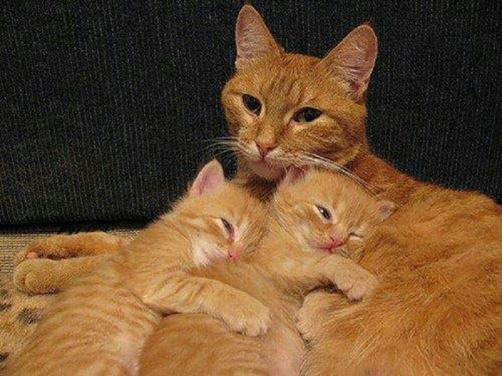 Orange Mother Cat And Her Two Kittens Orange Perfection Cute