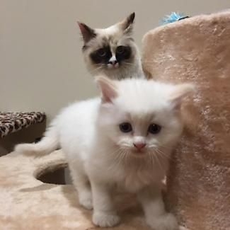 Ragdoll Kittens Cats Kittens Gumtree Australia Melbourne Region Yarra Ranges 1114346879 With Images Ragdoll Kitten Cats And Kittens Kittens
