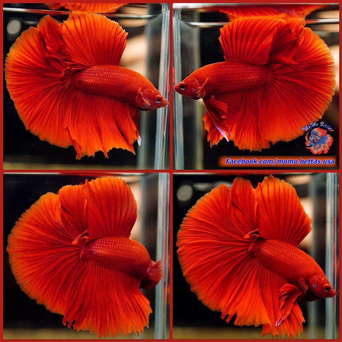 Live Betta Fish Male Solid Color Super Red Halfmoon HM #814 | Common ...