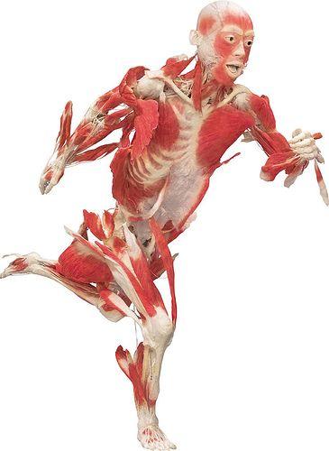 Anatomía y Biomecánica   Cuerpo Humano - TAFAD   Pinterest ...