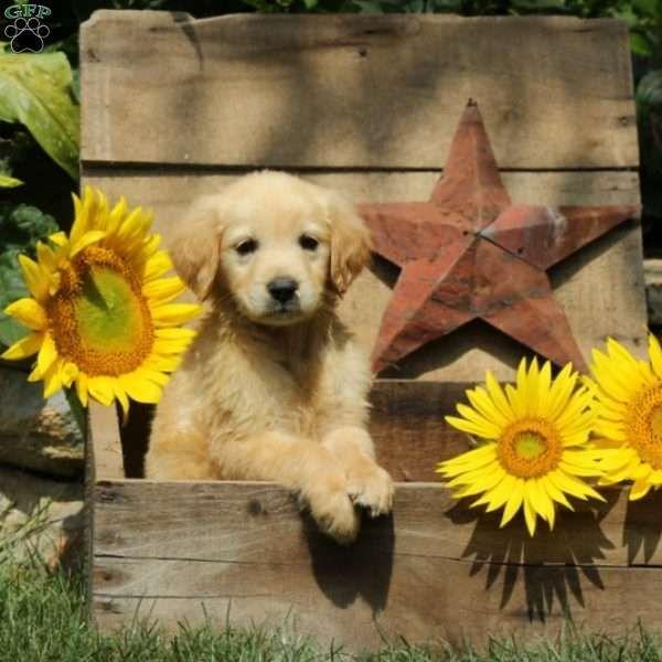Mambo Golden Retriever Puppy For Sale In Pennsylvania Golden