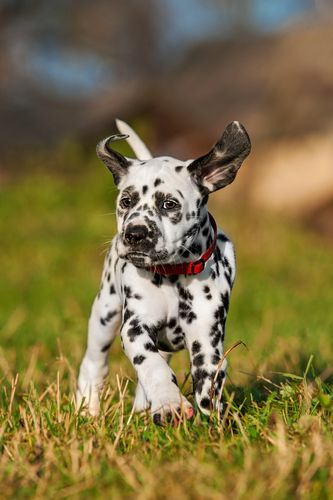 Dalmatian - Although the origin is unknown for these distinct canines, the Dalmatian became the preferred dog for firehouses due to their connection with horses. Before engines were created, horse drawn fire carts were in use. Dalmatians were brought in to guard the horses when they weren't working and run alongside them on their emergencies.