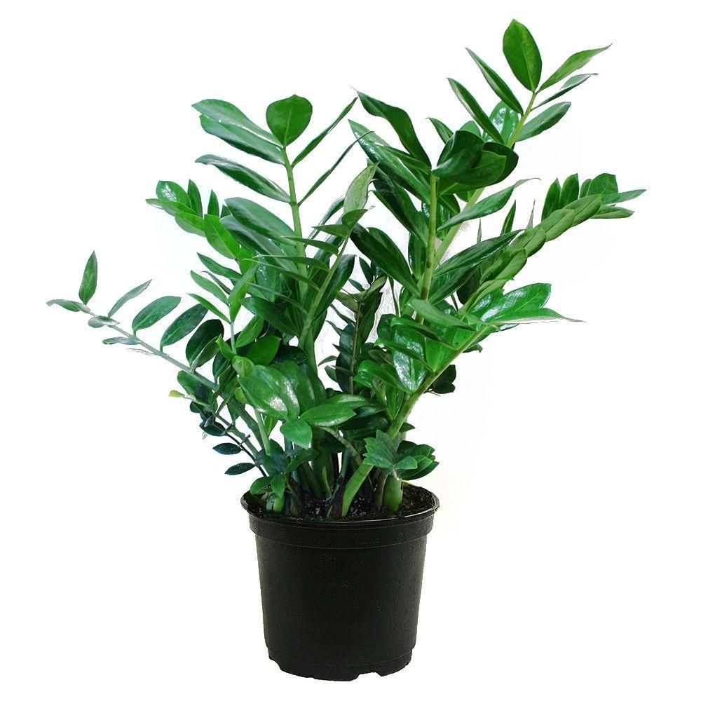 Costa Farms ZZ Plant in 6 in. Grower Pot | Apartment ideas ... on home depot gifts, home depot balloons, home depot food, home depot shrubs, home depot birthday, home depot wedding, home depot orchids, home depot fountains, home depot flowers, home depot herbs,