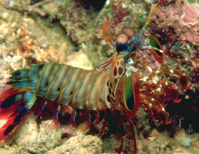أجمل 10 أسماك ملونة في عالم البحار بالصور Mantis Shrimp Colorful Fish Fish