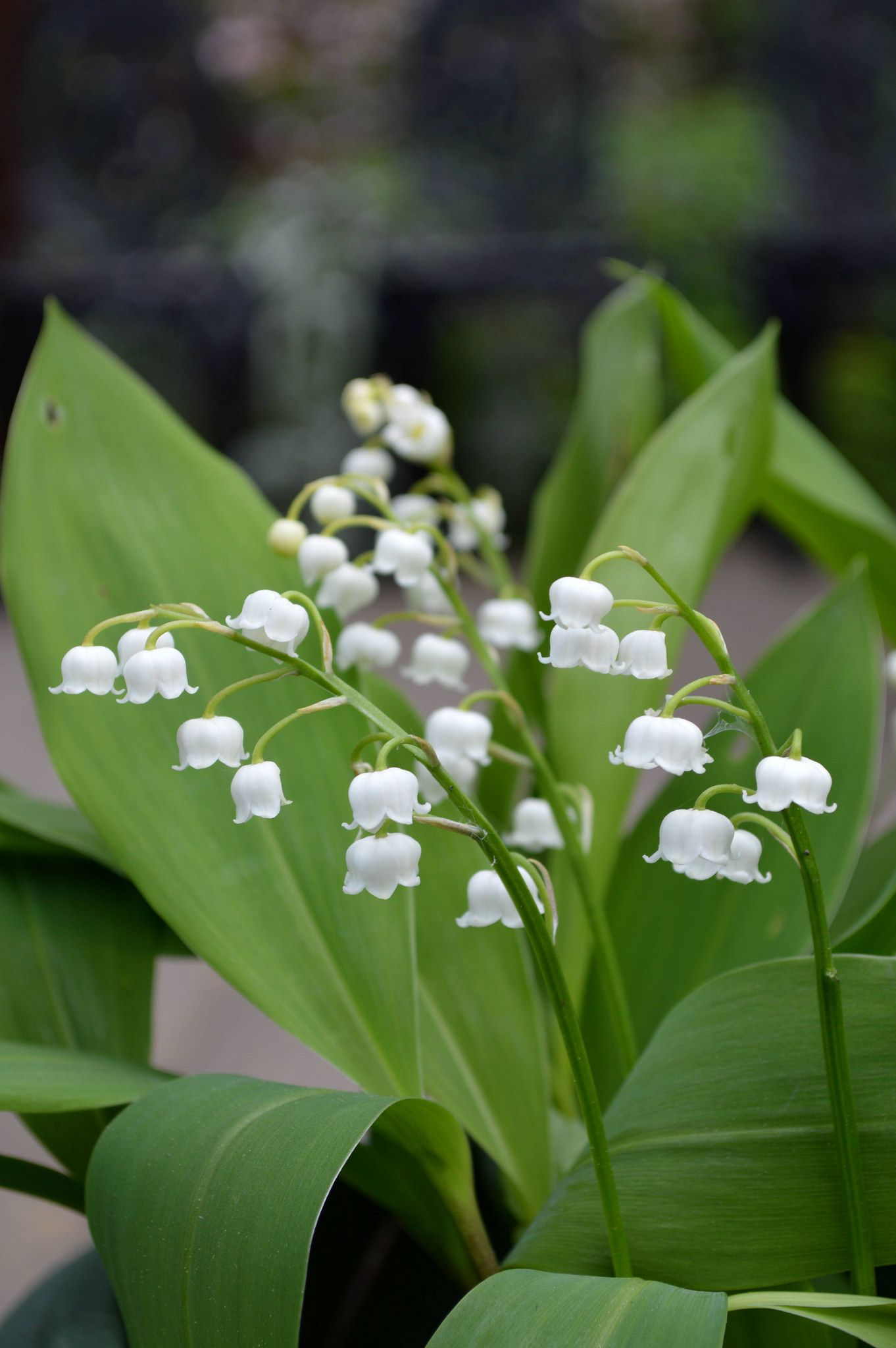 Lily Of The Valley Convallaria Majalis Lily Of The