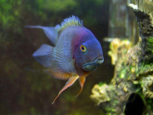Rokteil Severum African Cichlids Cichlid Fish Aquarium Fish