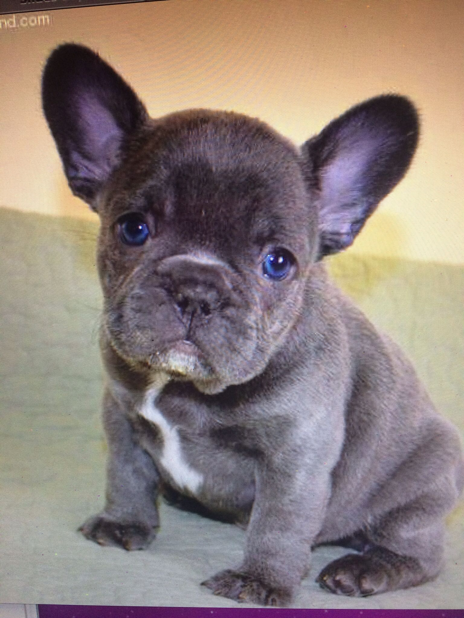 Blue French Bulldog Love These Little Dogs Limited Edition