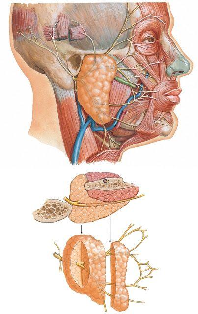 Nervio facial y glándula parótida | Medicina | Pinterest | Nervio ...