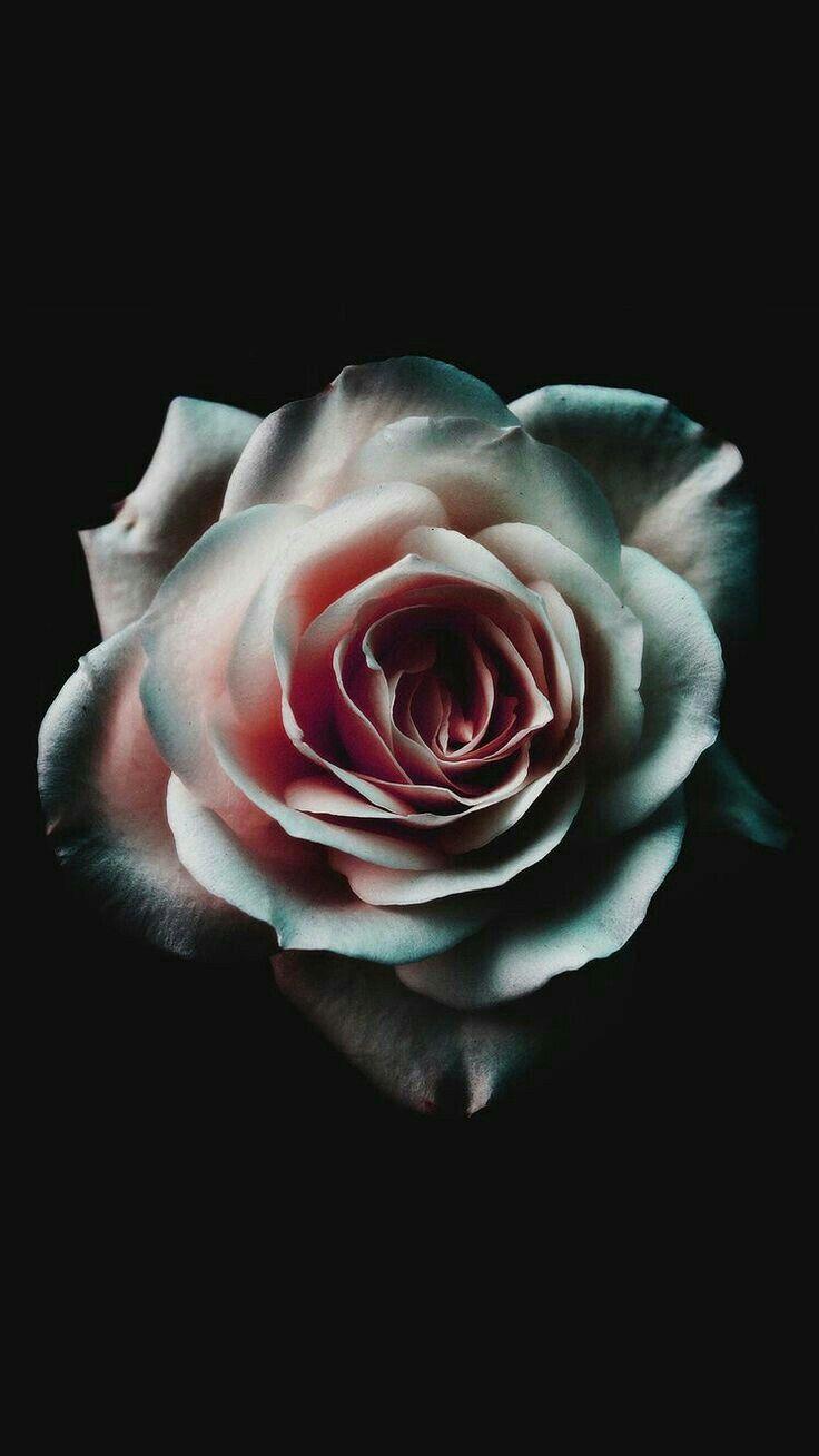 Pin By Tom Emerine On Flower Project Dark Wallpaper Rose