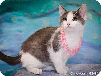 Sacramento, CA - Domestic Mediumhair. Meet CANDYCORN a Kitten for Adoption.